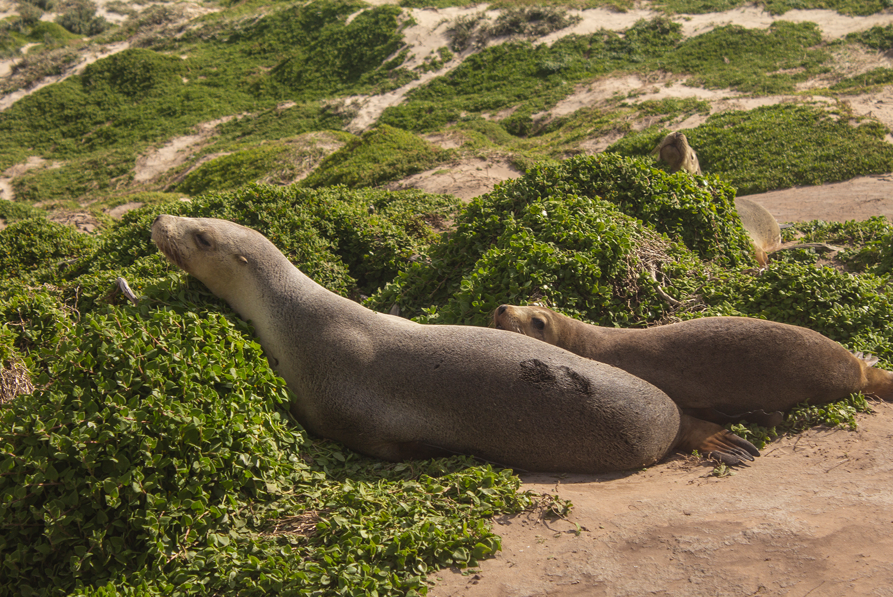 Kangaroo Island sea lion